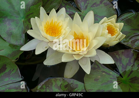 Fragrant Water Lily flowers (Nymphaea odorata), Eastern USA - Stock Photo