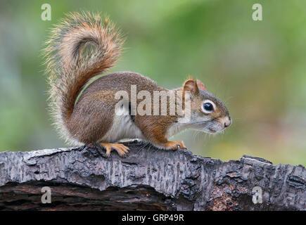 Eastern Red Squirrel making sounds, chatting (Tamiasciurus or Sciurus hudsonicus) E North America - Stock Photo