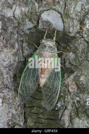 Adult Cicada Dogday Harvestfly (Tibicen canicularis) just emerged from nymphal skin Eastern USA - Stock Photo