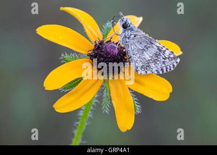 Dewy Common Checkered Skipper Butterfly (Pyrgus communis) nectaring, feeding on Black-eyed Susan (Rudbeckia hirta) - Stock Photo