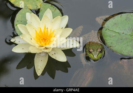 Green Frog Rana clamitans in pond with Water Lilys (Nymphaea odorata), and Springtails (Collembola) Eastern USA - Stock Photo