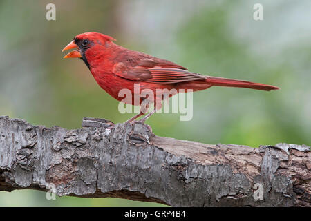 Northern Cardinal Cardinalis cardinalis Male starting to molt, Eastern North America - Stock Photo