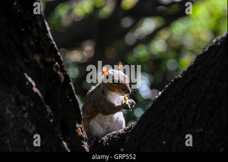 South Africa, Cape Town. Eastern gray squirrel in the Company's Garden. - Stock Photo