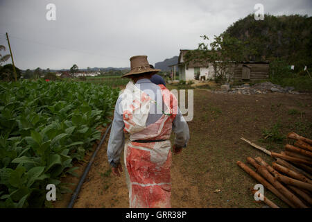 A tobacco farmer walks past his crops in his fields outside Vinales, Cuba - Stock Photo