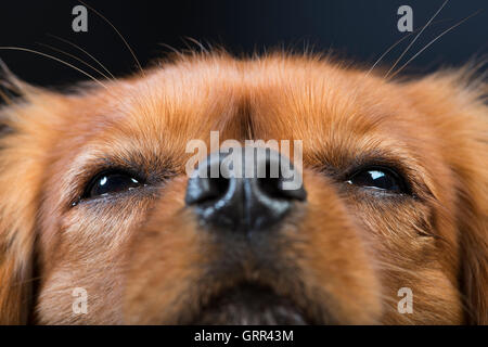 Close-up portrait of a King Charles Cavalier Spaniel - Stock Photo