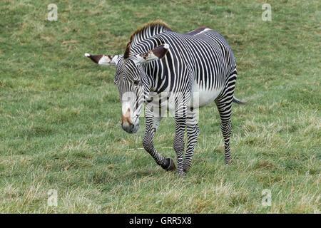 Grévy's zebra. Equus grevyi, Woburn Safari Park. - Stock Photo