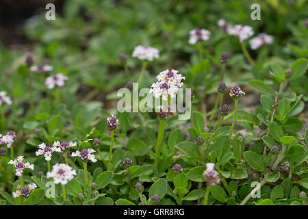 kriechende teppichverbene teppich verbene phyla nodiflora lippia stock photo 117911125 alamy