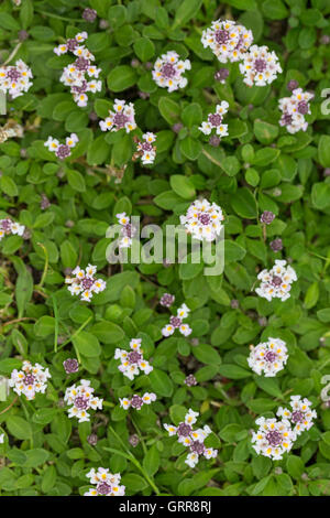 lippia nodiflora stock photo 104954358 alamy