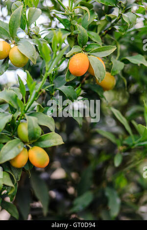 Small kumquat fruits on the tree branch - Stock Photo