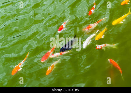 colorful carp fish in green water - Stock Photo