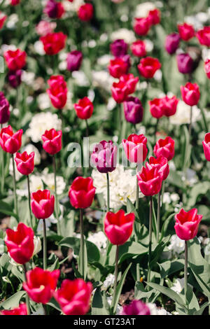 Pink tulip flowers in bloom - Stock Photo
