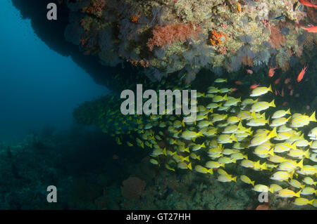 School of yellow snappers under a overhang in Kuda Rah Thila, South Ari Atoll, Maldives - Stock Photo