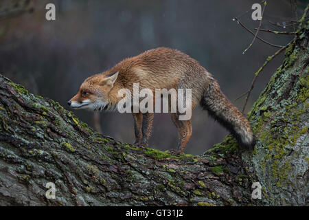 Red Fox / Rotfuchs ( Vulpes vulpes )  in funny pose, standing on a tree trunk, rainy day at dusk. - Stock Photo