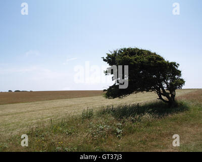Tree shaped in wind in field off Beachy Head Way, Eastbourne, East Sussex overlooking English Channel - Stock Photo