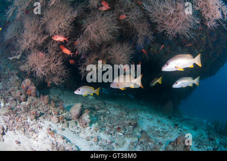 Snappers hanging under an overhang with black corals - Stock Photo