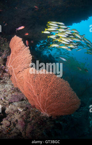 Large gorgonian fan coral and school of yellow snappers at Kuda Rah Thila - Stock Photo