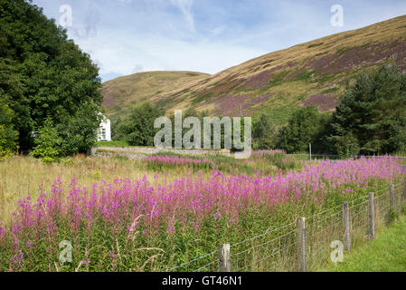 Chamerion angustifolium. Rosebay willowherb flowering in late summer in the Scottish borders countryside. Scotland - Stock Photo