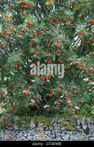 Sorbus. Rowan tree with berries in autumn in the scottish borders countryside. Scotland - Stock Photo