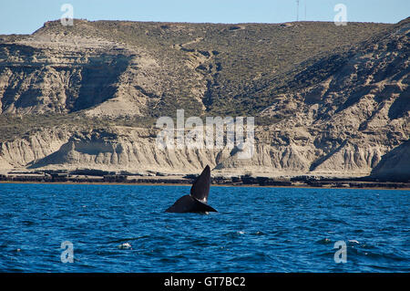 the beautiful whales in the Valdes Peninsula in Argentina,animal - Stock Photo