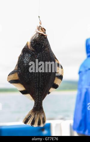 Flounder on hook. Bottom sea fishing in the Pacific near Kamchatka. - Stock Photo