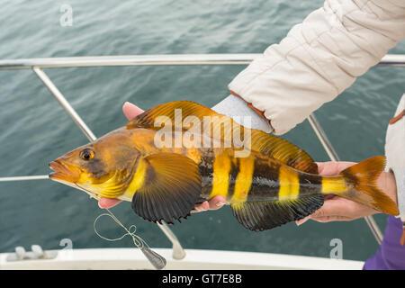 Mackerel on hook. Bottom sea fishing in the Pacific near Kamchatka. - Stock Photo