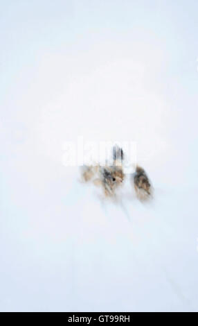 Dog sled. Kulusuk. Greenland. - Stock Photo
