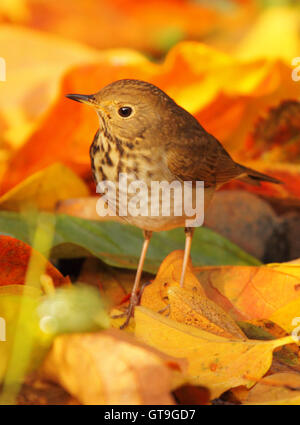 A Swainson's Thrush among bright autumn leaves. - Stock Photo