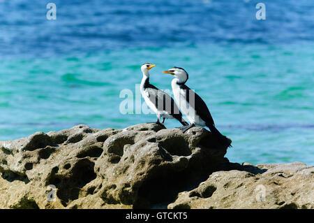 Pied Cormorants (Phalacrocorax varius), Jervis Bay, Booderee National Park, New South Wales, NSW, Australia - Stock Photo