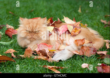 Persian cat in autumn leaves - Stock Photo