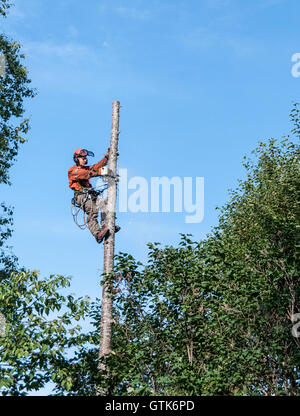 Professional lumberjack cutting tree on the top  with a chainsaw in Quebec country, Canada  - - Stock Photo