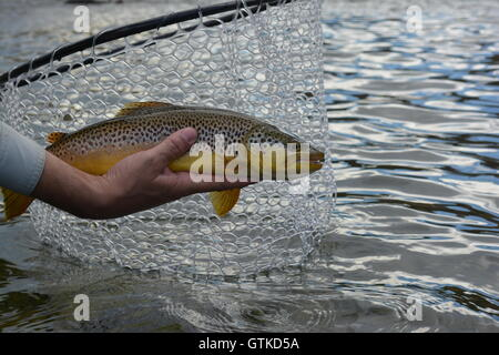 Summer brown trout fish caught in Utah on a fly rod while fly fishing with grasshoppers. - Stock Photo