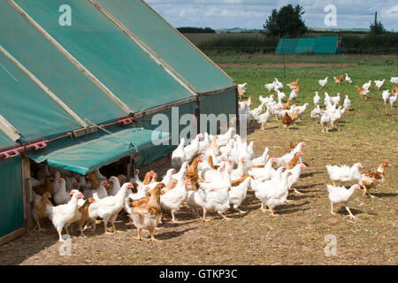 free range chickens coming out of chicken shed - Stock Photo