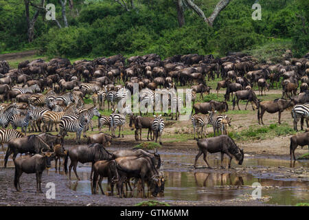 Wildebeest and zebras drink from a small stream during the migration. Serengeti National Park, Tanzania. - Stock Photo