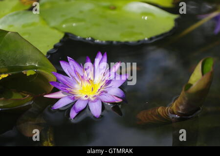 violet Lily in the pond on a bright sunny day, violet lotus flower in Thailand on Phuket Island - Stock Photo