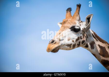 closeup of a giraffe on a blue sky - Stock Photo