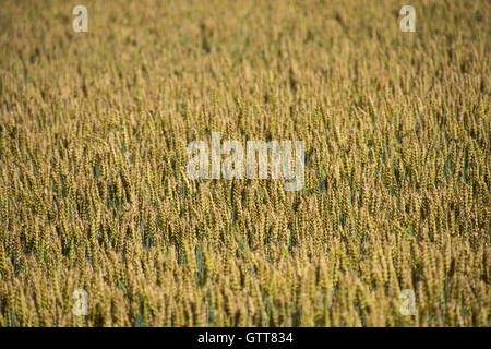 Wheat field with selected focus - Stock Photo