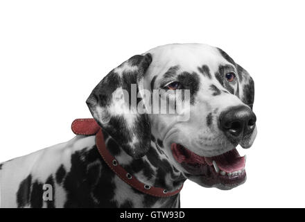 Portrait of a black and white spotted dalmatian dog breed in the red collar smiling and laughing isolated on white - Stock Photo