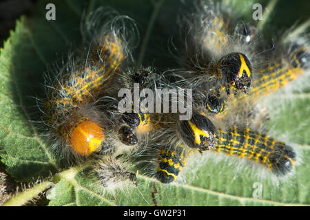 Buff-tip moth (Phalera bucephala) caterpillars feeding gregariously, showing colour of freshly moulted insect - Stock Photo