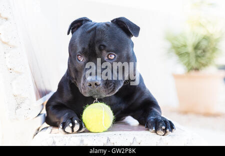 Young Staffordshire Bull Terrier dog lying on a bench with appealing puppy dog eyes, his eyebrows are raised slightly. - Stock Photo