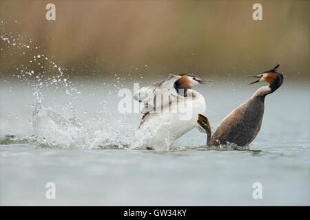 Great Crested Grebes / Haubentaucher ( Podiceps cristatus ) in hard fight, rivals, territorial behavior, furious - Stock Photo
