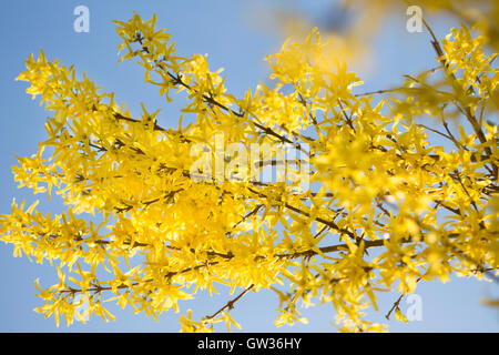 Bright, yellow flowers of Forsythia against a clear, blue sky - Stock Photo