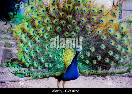 Peacock bird - Stock Photo
