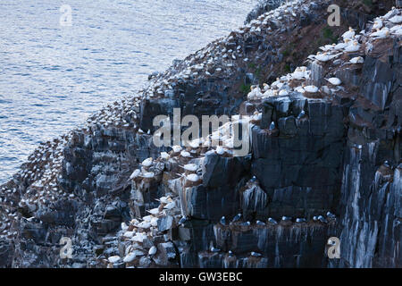 Northern Gannets (Morus bassanus) and black-legged kittiwake (Rissa tridactyla) perched on the side of a cliff. - Stock Photo