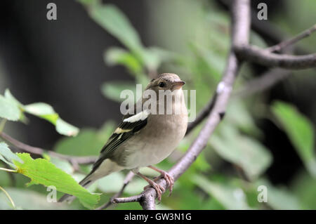 Female Common Chaffinch (Fringilla coelebs) in autumn. Russia, Moscow region - Stock Photo