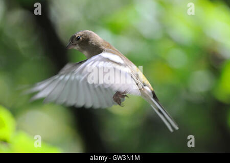 Flying female Common Chaffinch (Fringilla coelebs) in autumn. Russia, Moscow region - Stock Photo