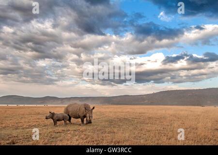 A mother Rhino and her baby in Lake Nakuru National Park, Kenya. - Stock Photo