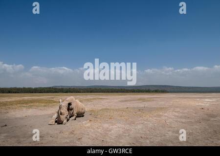 A lone rhinoceros on the dusty shores of Lake Nakuru, Kenya. - Stock Photo