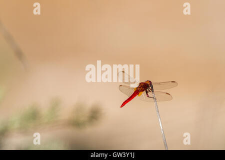 The vivdly bright male scarlet darter dragonfly (crocothemis erythraea), Ria Formosa Natural Park, Olhao, Algarve, - Stock Photo