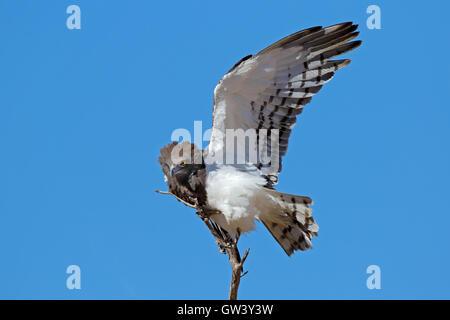Black-breasted snake eagle (Circaetus gallicus) with open wing, Kalahari, South Africa - Stock Photo