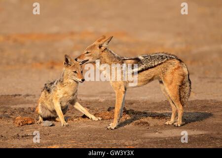 A pair of black-backed jackals (Canis mesomelas), Etosha National Park, Namibia - Stock Photo